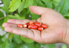 Miracle fruit. Miracle berry Synsepalum dulcificum royalty free stock images