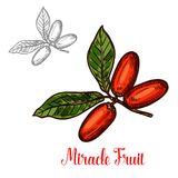 Miracle fruit green branch sketch of exotic berry. Miracle fruit branch sketch of exotic African berry. Ripe red fruit on twig with green leaf isolated icon for Royalty Free Stock Image