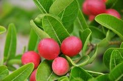 Miracle fruit Royalty Free Stock Photo
