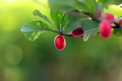 Miracle Fruits. Red miracle on tree fresh stock photography