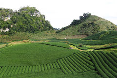 Miracle strips of tea plantation Stock Image