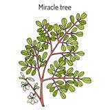 Miracle tree Moringa oleifera , medicinal plant. Stock Images