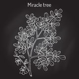 Miracle tree Moringa oleifera , medicinal plant. Royalty Free Stock Image