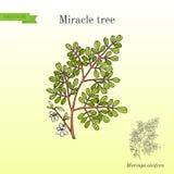 Miracle tree Moringa oleifera , medicinal plant. Hand drawn botanical vector illustration stock illustration