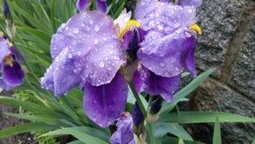 Miracle violet image libre de droits