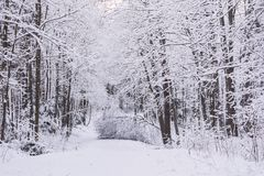 Miracle winter forest covered by snow. Beautiful frozen trees. Dense forest. Fallen tree on the road. Saint-Petersburg Royalty Free Stock Photo