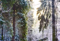 Miracle winter forest covered by snow. Beautiful frozen trees. Evening. Saint-Petersburg Royalty Free Stock Image