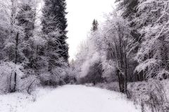 Miracle winter forest covered by snow. Beautiful frozen trees. Saint-Petersburg. HDR Stock Image