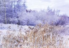 Miracle winter forest covered by snow. Frozen trees and dry grass. Saint-Petersburg Stock Photos