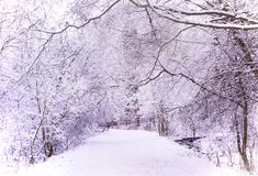 Miracle winter forest covered by snow. Beautiful frozen trees. Dense forest. Saint-Petersburg Royalty Free Stock Image