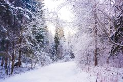 Miracle winter forest covered by snow. Beautiful frozen trees. Saint-Petersburg Stock Photos