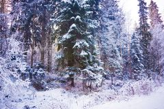 Miracle winter forest covered by snow. Beautiful frozen trees. Saint-Petersburg Stock Photography