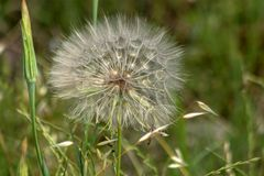 Miraculous herb Dandelion Taraxacum. Against the background of green grass. stock photos