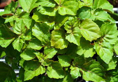 Mirada abajo en las hojas de la planta del pachulí Imagen de archivo libre de regalías