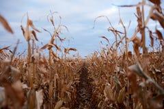 Mirada abajo entre las filas de las plantas del maíz Foto de archivo libre de regalías