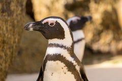 Mirada africana de los pingüinos alrededor Imagenes de archivo
