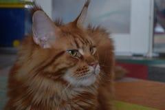 Mirada anaranjada del gato en mí foto de archivo libre de regalías
