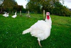 Mirada blanca de la gallina de pavo Fotografía de archivo libre de regalías