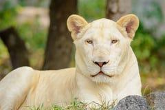 Mirada blanca de leo del Panthera del león del primer en la cámara Fotos de archivo libres de regalías