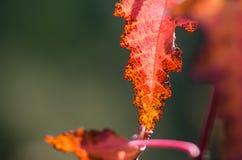 Mirada cercana en la belleza de Autumn Leaf colorido imágenes de archivo libres de regalías