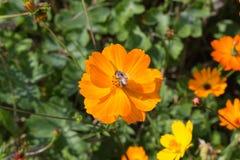 mirada cercana en las flores coloridas con la abeja Imagen de archivo libre de regalías