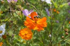 mirada cercana en las flores coloridas con la abeja Imagenes de archivo