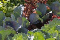 Mirada cercana en las plantas vegetales en un jardín de la cabaña Imagen de archivo