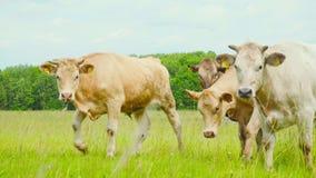 Mirada curiosa de las vacas en la cámara almacen de video