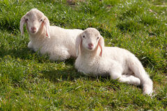 Mirada de dos corderos Fotografía de archivo