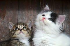 Mirada de dos gatitos foto de archivo libre de regalías