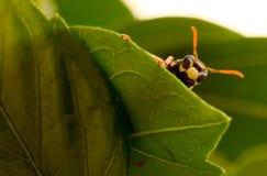 Mirada de la abeja Imagen de archivo libre de regalías