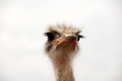 Mirada de la avestruz Imágenes de archivo libres de regalías