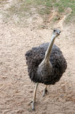 Mirada de la avestruz en la cámara Imágenes de archivo libres de regalías