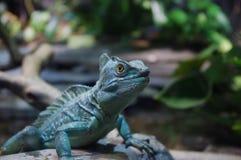 Mirada de la iguana Foto de archivo libre de regalías