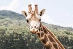 Mirada de la jirafa Fotos de archivo libres de regalías