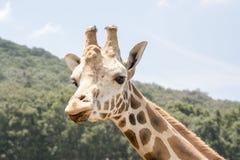 Mirada de la jirafa Imagen de archivo