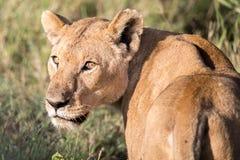 Mirada de la leona Imagenes de archivo