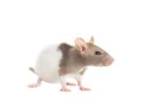 Mirada de la rata fotografía de archivo libre de regalías
