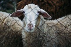 mirada de las ovejas fotografía de archivo