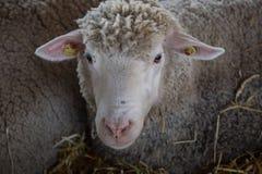 mirada de las ovejas Imágenes de archivo libres de regalías