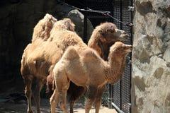 Mirada de los camellos bactrianos más allá de la cerca imágenes de archivo libres de regalías