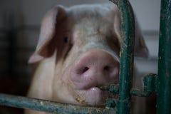 Mirada de los cerdos Foto de archivo libre de regalías