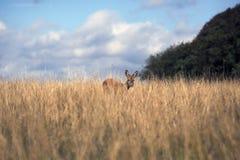 Mirada de los ciervos Fotos de archivo