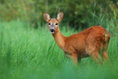 Mirada de los ciervos de huevas Foto de archivo libre de regalías