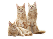 Mirada de los gatos Fotos de archivo libres de regalías