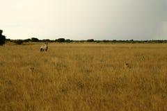 Mirada de los guepardos del Gemsbok Foto de archivo libre de regalías