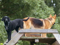 Mirada de los perros en diversas direcciones Fotografía de archivo libre de regalías