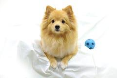 Mirada de Pomeranian Fotos de archivo