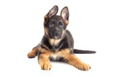 Mirada de Puppy del pastor alemán Fotografía de archivo libre de regalías