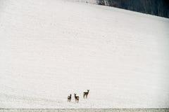 Mirada de tres ciervos de huevas foto de archivo